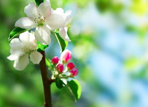 Fiori Bianchi Di Primavera.Stress Da Primavera Ti Aiuta Crab Apple Obiettivo Benessere