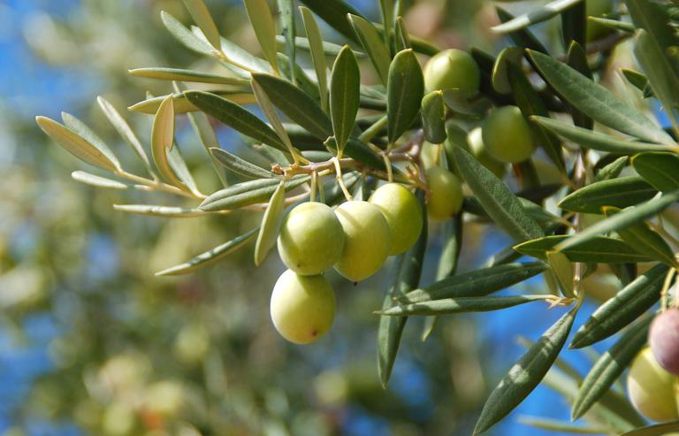 olivo - riza.it